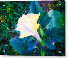 Acrylic Print featuring the photograph Sacred Datura - Partial Bloom by Judy Kennedy