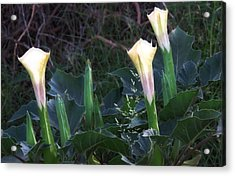 Acrylic Print featuring the photograph Sacred Datura Trio - Partial Blooms by Judy Kennedy