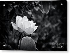 Acrylic Print featuring the photograph Sacred Lotus Monochrome by Tim Gainey