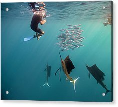 Sailfish And Snorkeler Standoff Acrylic Print by By Wildestanimal