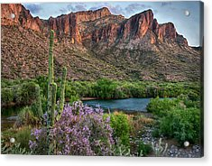 Salt River Saguaro And Ironwood Blooms Acrylic Print