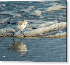 Sanderling At Assateague Island National Seashore Acrylic Print
