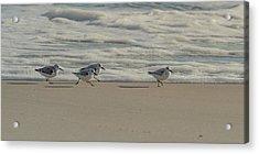 Sanderlings At Assateague Island National Seashore I 1x2 Acrylic Print