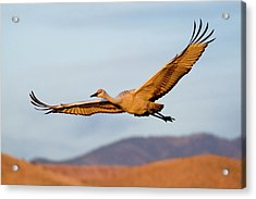 Acrylic Print featuring the photograph Sandhill Crane by Nicole Young