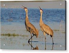 Sandhill Crane Pair Calling Acrylic Print by Ken Archer