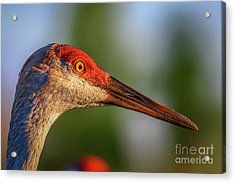 Acrylic Print featuring the photograph Sandhill Sunlight Portrait by Tom Claud
