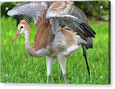 Sandy Crane Shows New Feathers Acrylic Print