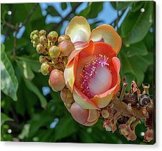 Acrylic Print featuring the photograph Sara Tree Or Cannonball Tree Flower And Buds Dthn0264 by Gerry Gantt