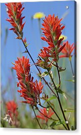 Scarlet Indian Paintbrush At Mount St. Helens National Volcanic  Acrylic Print