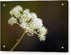 Scotland. Loch Rannoch. White Flowerhead. Acrylic Print