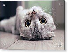 Scottish Fold Cat Lying On The Back Acrylic Print