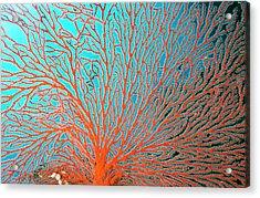 Sea Fan The Fine Network Of Arms Bear Acrylic Print