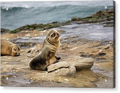 Sea Lion Pup Acrylic Print by K Pegg