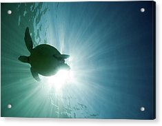 Sea Turtle Acrylic Print by M.m. Sweet