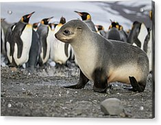 Seal Pup With King Penguins On Beach Acrylic Print by Tom Norring