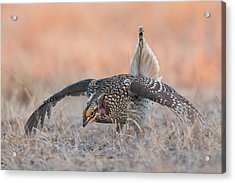 Sharp-tailed Grouse, Courtship Display Acrylic Print