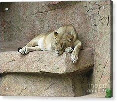 She Lion Acrylic Print
