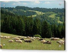 Sheep Grazing In Field, Podhale Acrylic Print