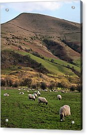 Sheep Grazing In Peak Acrylic Print