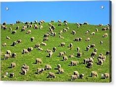 Sheep Grazing On A Green Hill Acrylic Print