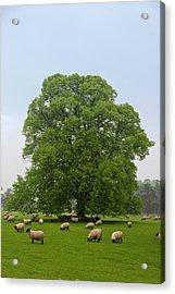 Sheep Grazing On The Grass Acrylic Print