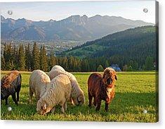 Sheep In The Tatras Mountains Acrylic Print