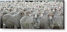 Sheep Looking Acrylic Print by Lee Torrens