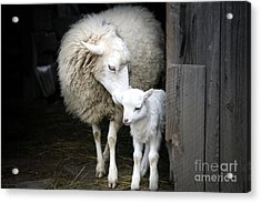 Sheep With A Lamb Standing In The Acrylic Print