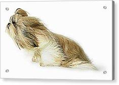Shih-tzu Dog Fur Blowing In The Wind Acrylic Print by Gandee Vasan