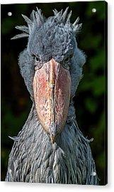 Shoe-billed Stork Acrylic Print