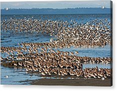 Shorebirds, Migration Stop-over Acrylic Print