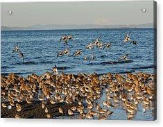 Shorebirds, Spring Migration Stop Acrylic Print by Ken Archer