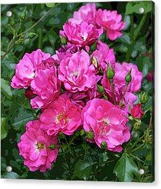 Shrub Rose Stylized Acrylic Print