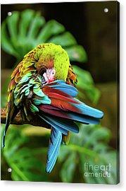 Shy Parrot Acrylic Print