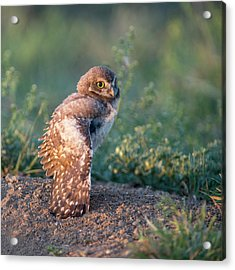 Shy Young Burrowing Owl Acrylic Print