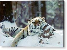 Siberian Tiger At The Bronx Zoo Is Acrylic Print