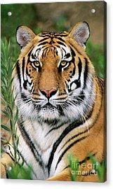 Siberian Tiger Staring Endangered Species Wildlife Rescue Acrylic Print