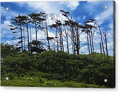 Silhouettes Of Wind Sculpted Krumholz Trees  Acrylic Print