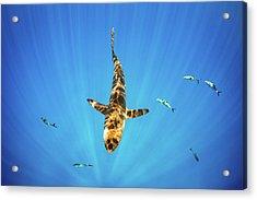 Silky Shark Acrylic Print