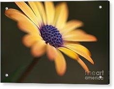 Simply Beautiful In Yellow To Orange  Acrylic Print