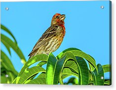 Singing House Finch Acrylic Print
