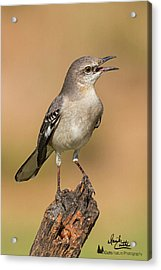 Singing Mockingbird Acrylic Print