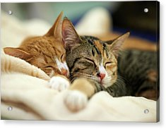 Sleeping Kittens Acrylic Print by Akimasa Harada