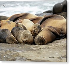 Sleeping Sea Lions Acrylic Print by K Pegg