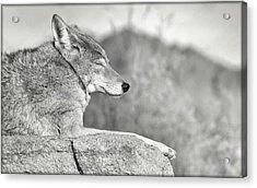 Sleepy Coyote Acrylic Print