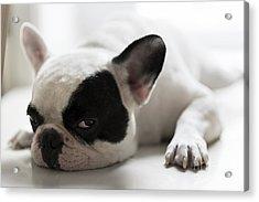 Sleepy French Bulldog Acrylic Print