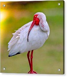 Sleepy Ibis Acrylic Print