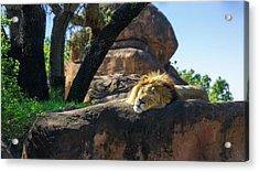 Sleepy Lion Acrylic Print
