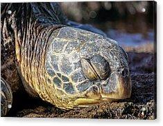Sleepy Maui Sea Turtle Acrylic Print