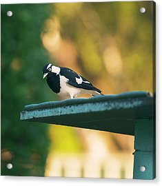 Small Magpie Lark Outside In The Afternoon Acrylic Print